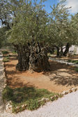 Thousand-year olive trees — Stock Photo