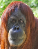 Portrait of an orangutan up close — Stock Photo