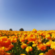 Stock Photo: Magnificent field of orange buttercups