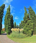 Two slender cypress separated path — Stock Photo