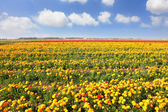 Boundless field under yellow flowers. — Stock Photo