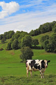 Green meadow with grass and grazing cows — Stock Photo