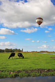 Fat cows grazing. In cloudy sky flying balloon — Stock Photo
