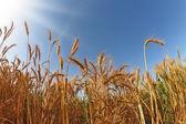 Field of ripe wheat at sunset — Stock Photo