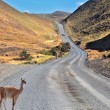 A guanaco is on the road between the hills — Stock Photo
