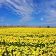 Stock Photo: Fields flowers buttercups