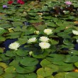The flowering water lilies — Stock Photo