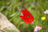 Bright red field flower — Stockfoto