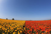 Huge field blossoming red and the yellow buttercups — Stock Photo