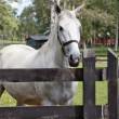 Thoroughbred white horse — Stock Photo #39090261