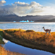 Trusting guanaco on the Lake Grey. — Stock Photo