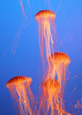 Aquarium with four jellyfish — Stock Photo