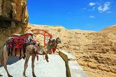 Dromedary Camel in the blanket — Stock Photo