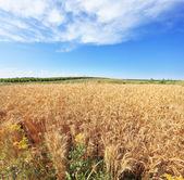 A field of ripe wheat — Stock Photo