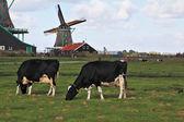 Charming Dutch pastoral — Stock Photo