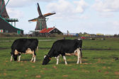 Charming Dutch pastoral — Stock Photo