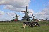The Dutch pastoral — Stock Photo