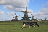 The Dutch pastoral — Stock Photo