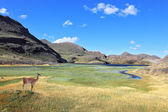 A graceful guanaco and blue lake — Stock Photo