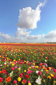 Fields of colorful blooming buttercups  — Stock Photo