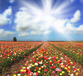 The sun illuminate the kibbutz field — Stock Photo