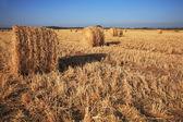 Rick shromážděné pšenice na slunci — Stock fotografie