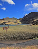 The guanaco stands on the lake — Stock Photo