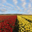 Field of red and yellow ranunculus — Stock Photo #45186173