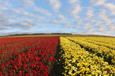 Field of red and yellow ranunculus — Stock fotografie