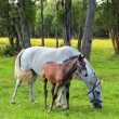 The white mare and her foal  — Stock Photo #46032073