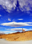 On the hill  poses guanaco — Stock Photo