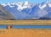 On the banks of guanacos grazing — Stock Photo