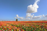 Boundless kibbutz field sown with flowers — Stock Photo