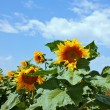 Photo of sunflower on a background of the sky — Stock Photo #46475275