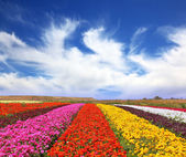 The multi-colored flower fields — Stock Photo