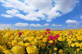The yellow buttercups - ranunculus — Stock Photo