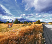 Graceful guanaco on the side of the road — Stock Photo