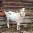 Stock Photo: Nanny goat near rural building