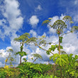 Cow-parsnip thickets on cloud background - Stock Photo