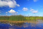 Marsh herb — Stock Photo