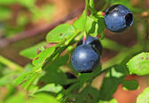 Ripe whortleberry on timber background — Stock Photo