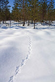 Capercaillie trace on white snow — Stock Photo