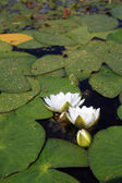 Water lilies on small lake — Stockfoto