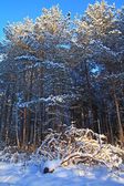 Pine wood in winter snow — Stock Photo