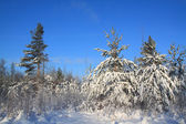 Pines in snow on celestial background — Stockfoto