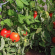 Red tomatoes in plastic hothouse — Stock Photo