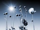 Poppy sun — Stock Photo