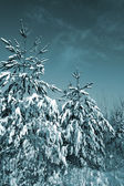 Pines in snow on celestial background — Stock Photo