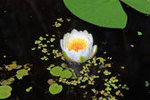 Water lily amongst marsh duckweed — Stock Photo