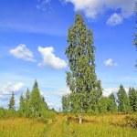 Birch near rural road — Stock Photo #1643413